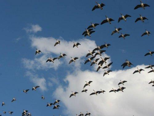 В Салехарде обсудили будущее гусей