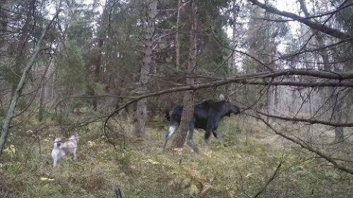 Охота на лося, домашние козы, лосиха