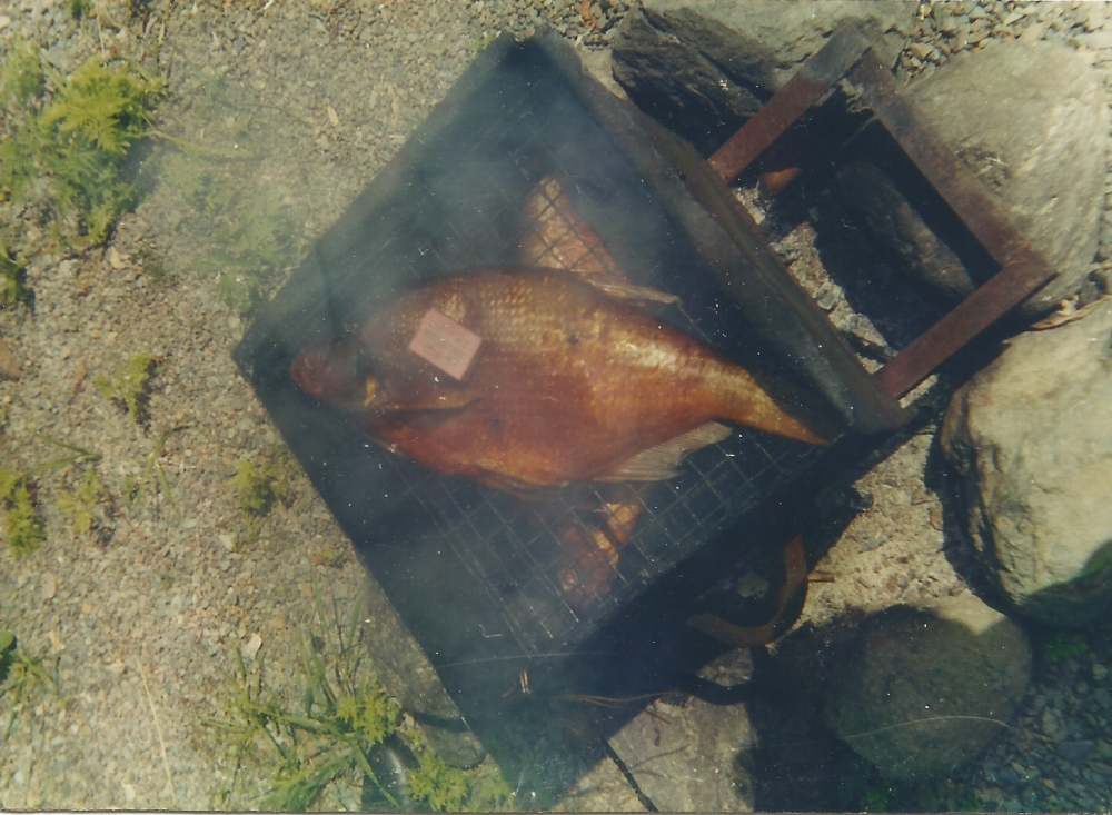 Телецкий лещ горячего копчения