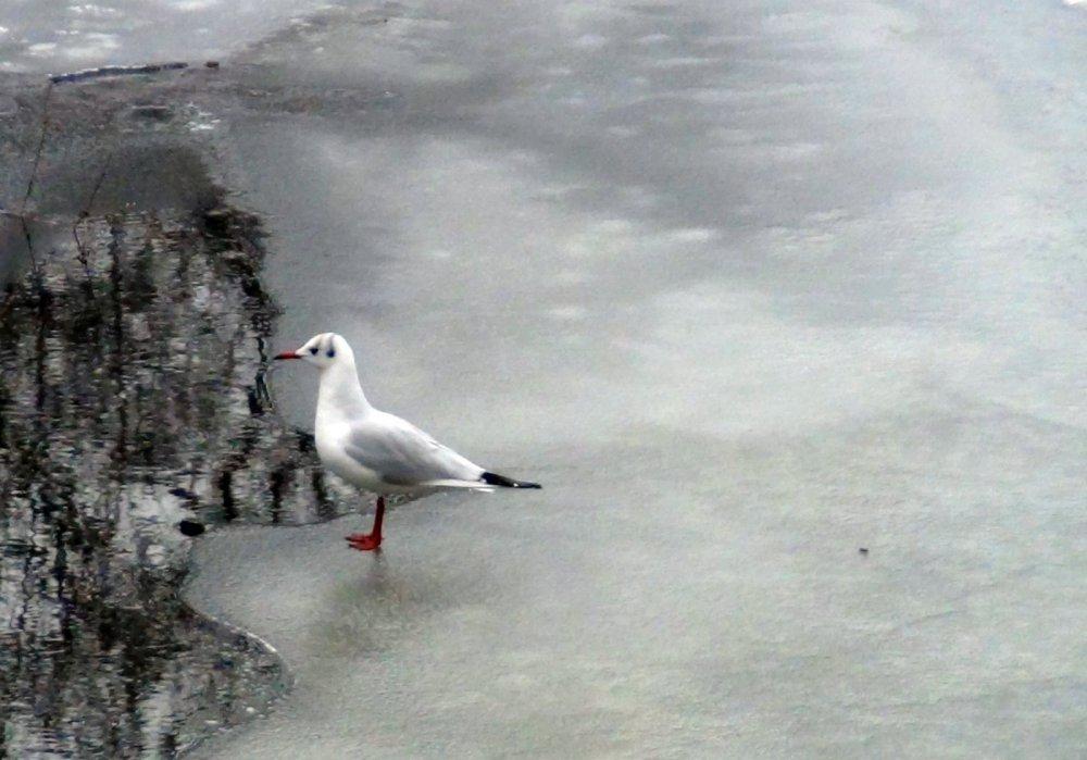 Чайка на зимовке