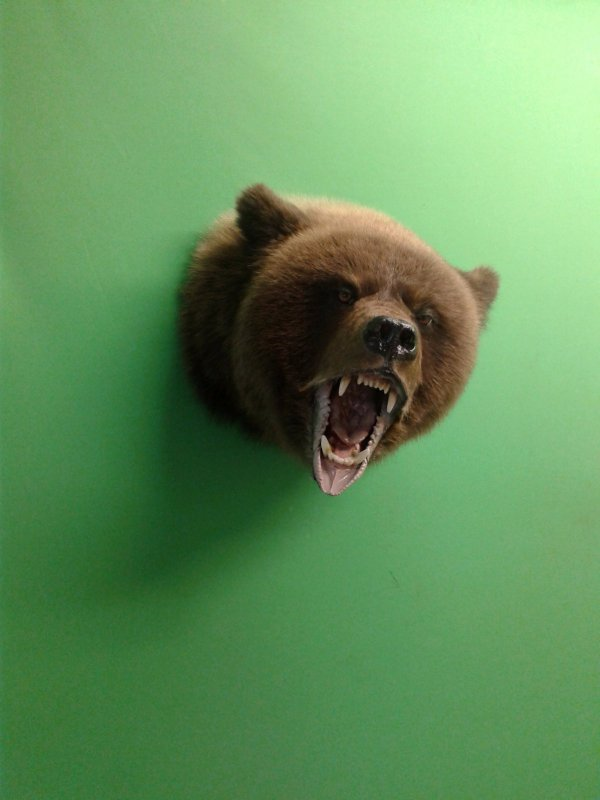 Медведь, голова на медальон