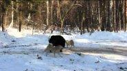 Притравка лаек по медведю