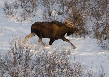 Зимний загон на лося: оружие и особенности.