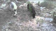 свинина и хряк