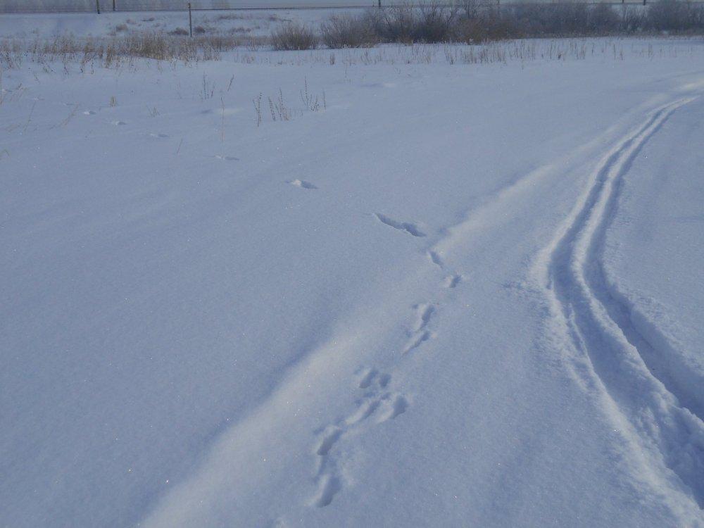 Следы косули на снегу направление движения фото