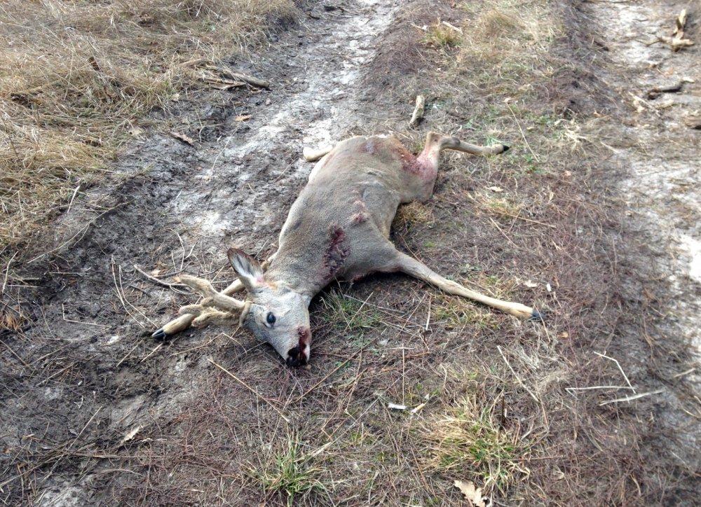 Жертва браконьеров.