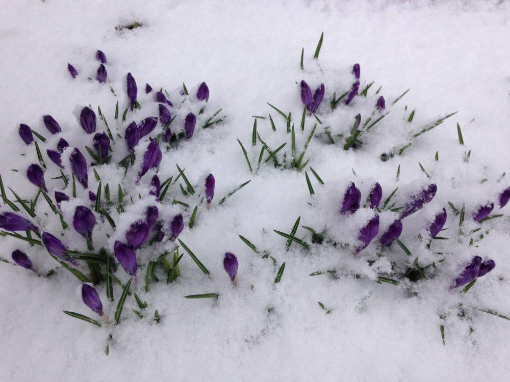 Крокусы в снегу.