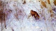 Охота лисы на зайца