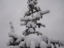 Пихту засыпало майским снегом.