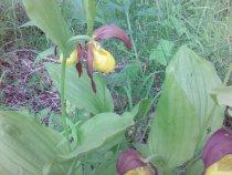 Венерин Башмачок Желтый ( дикая орхидея)