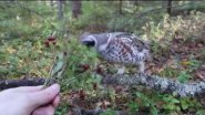 Hazel Grouse eating lingonberries from hand