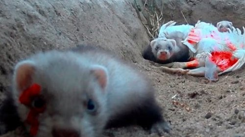 Ferret hunting rabbit and feeds his hatchlings