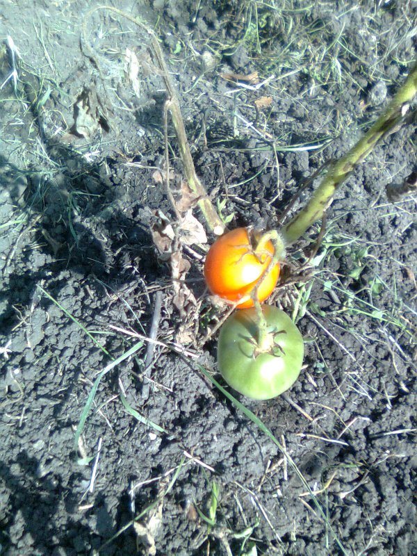 Дикие помидоры,томаты.