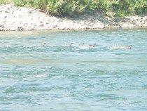 Что за утки в горных реках?