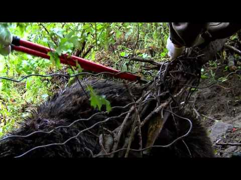 Медведь попал в капкан - освобождение. [HD]