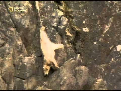 Белого медведя сбросили с горы