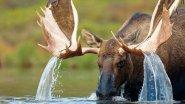 Как лось скидывает рога