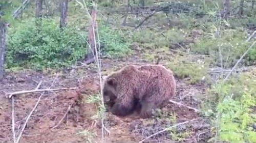 Медведь ловит бурундуков(Якутия)