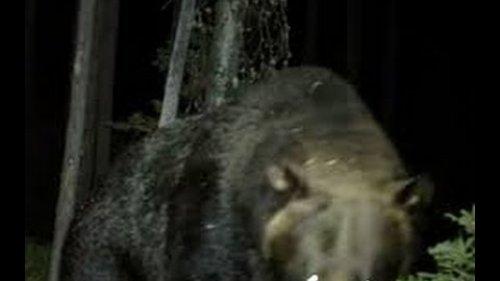 Неожиданная встреча с медведем..