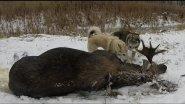 Охота на лося!