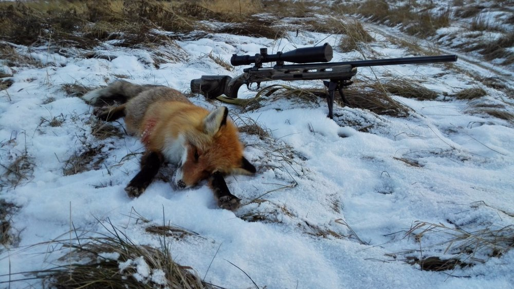 охота с манком на лисицу
