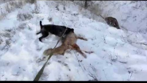 Ягдтерьер на охоте на лису