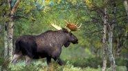Охота на лося в Иркутской области