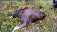 Охота в Финляндии на лося - 2016