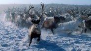 Охота на дикого северного оленя