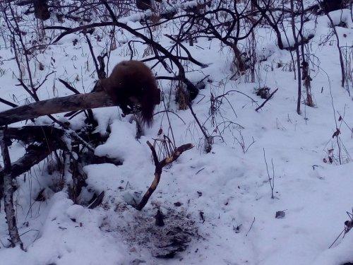 Такие звери есть в коченёвском районе