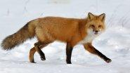 Охота на лис с флажками и загоном
