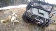 Охота с западно сибирскими лайками на медведя