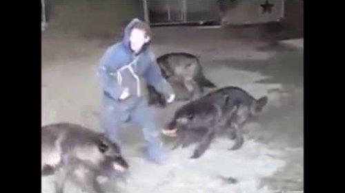 Волки нападают на человека, удивительный