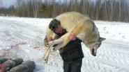 Охота на волка! Добыча волков в глуши тайги. Опасный промысел.