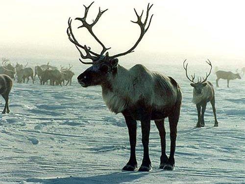 Северным оленям грозит вымирание