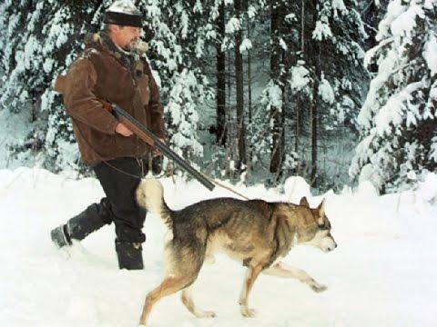 Охота с лайками и хасками. Охотничьи собаки промысловиков!