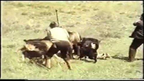 Собаки и пастухи пытаются отогнать медведя (Dogs and herdsmen tries to chase away bear)