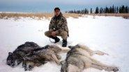 Охота на Волков. Опасные хищники!