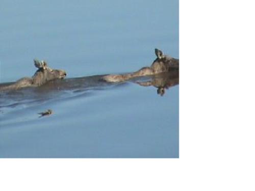 лоси через реку Обь плывут
