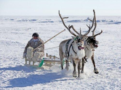 Ущерб от нападения волков на коренные народы Якутии приближается к 150 миллионам рублей
