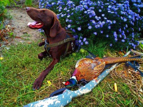 ...Арго на открытии по фазану 2016 год