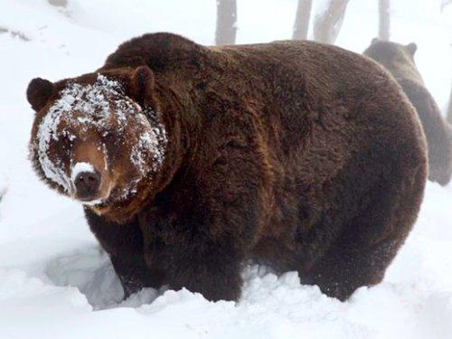 Медведям не спится...