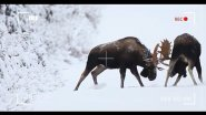 Драка между двумя лосями. A fight between two elk.