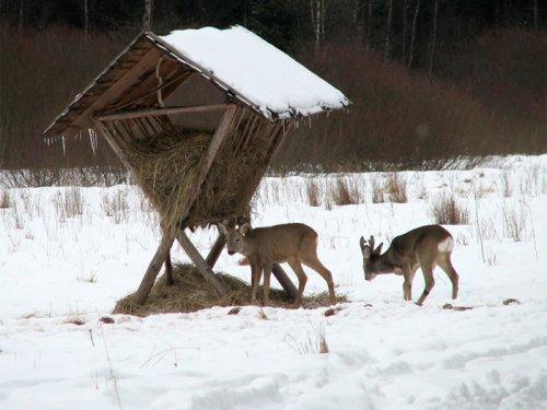 На Алтае браконьер забил сибирскую косулю палкой
