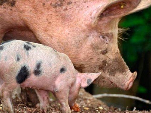 Африканская чума свиней в Иркутской области