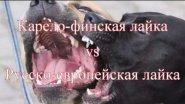 Смертельная схватка. Карело-финская лайка vs Русско-европейская лайка