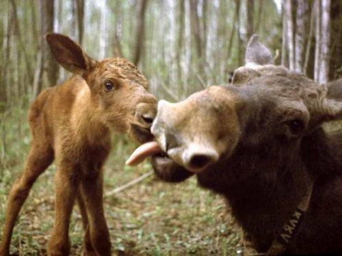 Запрещена любительская и спортивная охота на лося в Республике Алтай