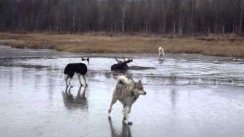 Охота с Сибирской Лайкой. Лучшая охотничья собака!