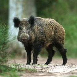 Начинается прием заявлений на выдачу разрешений на добычу кабана в общедоступных охотничьих угодьях