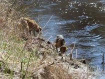 Передышка на водопой и дальше, на поиск зайца.